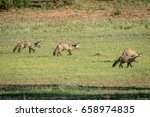 family of bat eared foxes... | Shutterstock . vector #658974835