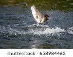 barramundi jumps into the air... | Shutterstock . vector #658984462