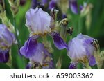 Two Toned Mauve Bearded Iris