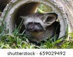 boring bat eared fox lay down... | Shutterstock . vector #659029492