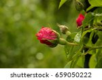 tea rose garden in the summer... | Shutterstock . vector #659050222