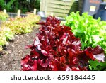 red and green leaf lettuce at... | Shutterstock . vector #659184445