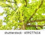 big old oak tree with green... | Shutterstock . vector #659277616