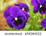 Violet Summer Flowers  Viola