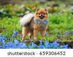 Red Miniature German Spitz Dog...