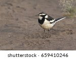 Small photo of african pied wagtail that stands on a sandy beach in the Nile Valley