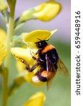 Bumblebee  Bombus Lucorum  On...