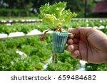 fresh lettuce leaves  close up. ... | Shutterstock . vector #659484682