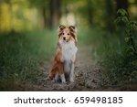 Shetland Sheepdog Portrait