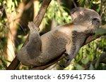 Stock photo lazy koala 659641756