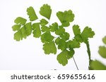 Small photo of Adiantum raddianum leaves