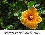 yellow hibiscus blooming in the ... | Shutterstock . vector #659687692