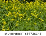 yellow flowers of b nias orient ... | Shutterstock . vector #659726146