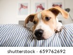young fawn mixed breed puppy... | Shutterstock . vector #659762692