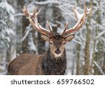 single adult noble deer with... | Shutterstock . vector #659766502