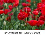 flowers red poppies blossom on... | Shutterstock . vector #659791405
