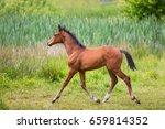 Foal On A Green Meadow In Summer
