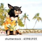 Chihuahua With Tropical Shirt...