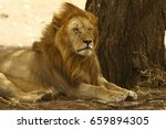 A Large Male Lion Rests In The...