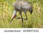 Sandhill Crane  Grus Canadensi...