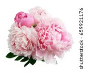 pink peony flower isolated on... | Shutterstock . vector #659921176