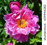 the peony is a flowering plant... | Shutterstock . vector #659944282