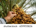 the dates ripen at the oasis... | Shutterstock . vector #659955826