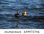 Duck Coot Sea. Duck And Black...