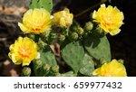 Prickly Pear Cactus Plant