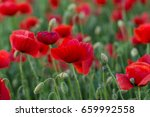 flowers red poppies blossom on... | Shutterstock . vector #659992558