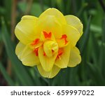 isolated flower from a double... | Shutterstock . vector #659997022
