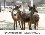 Deer Herd  And Formosan Deer