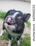 Small photo of The Pig Says Oink