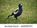 an australian magpie standing... | Shutterstock . vector #66008392
