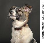 white and gray mongrel dog in...   Shutterstock . vector #660184642