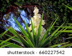 Small photo of Close-up photo of a bunch flowers of the plant known as aloe yucca (Yucca aloifolia)
