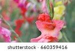 Orange Gladiolus Flowers