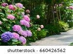 closeup of violet hydrangea ... | Shutterstock . vector #660426562