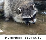 Raccoon Washes The Nut Before...