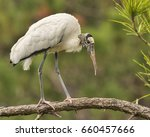 Wood Stork Perched In Pine Tre...