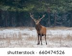 great adult noble red deer ... | Shutterstock . vector #660474526