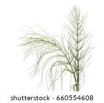 horsetail  equisetum arvense  ... | Shutterstock . vector #660554608