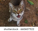Stock photo grey tabby mewing cat sitting on the ground and looking at the camera 660607522