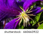 purple clematis.  dramatic... | Shutterstock . vector #660663922