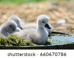 Cygnets In A Bucket Of Water