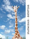 Giraffe Head With Blue Sky
