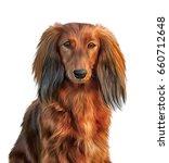 Dog Breed Dachshund Portrait...