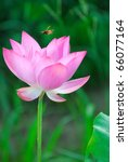 Bee Fly On The Lotus