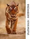 tiger in the nature habitat.... | Shutterstock . vector #660844366