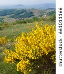 Small photo of genet, cytisus, col de durbize beaujolais in rhone in France